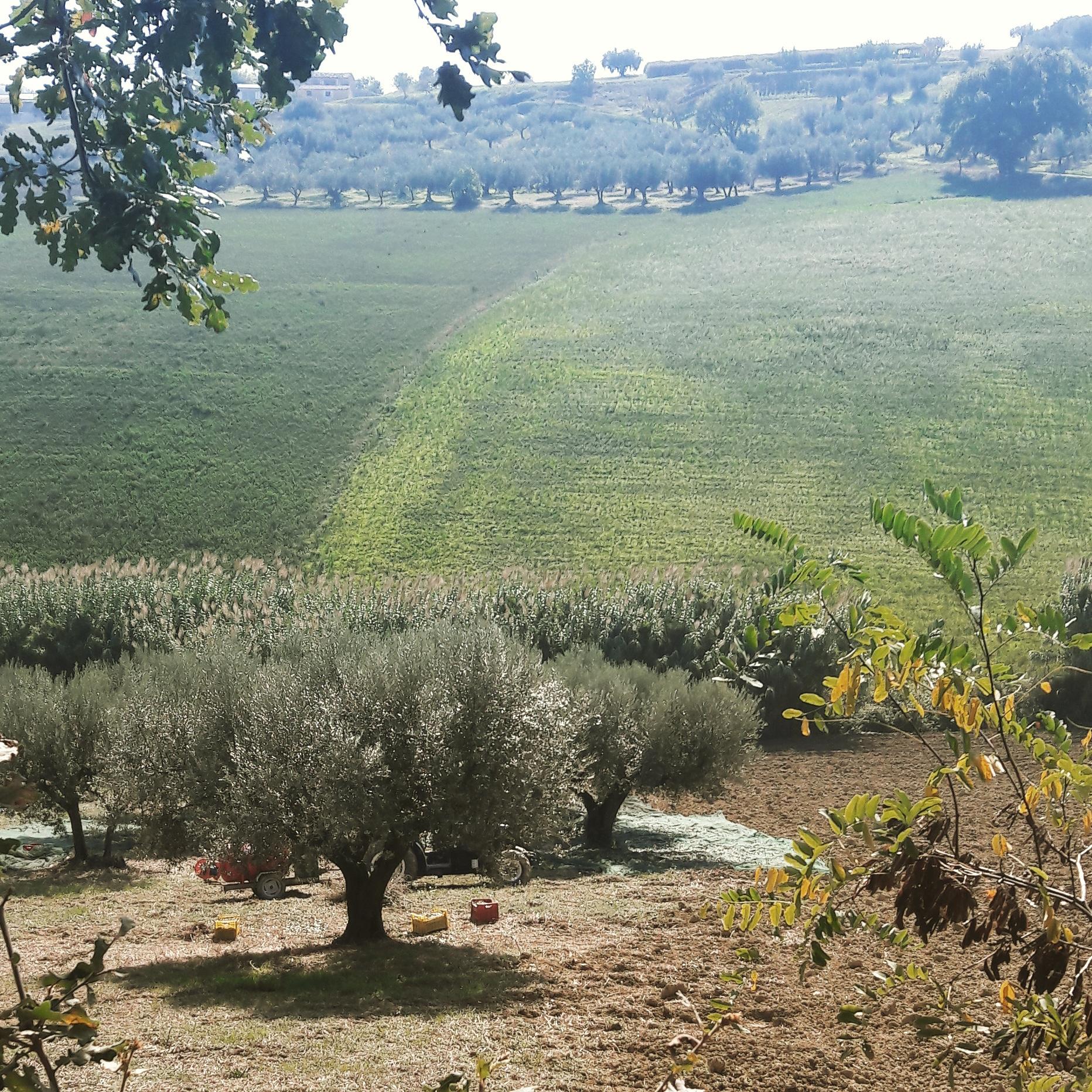 Abbiamo iniziato la raccolta delle olive 2018!